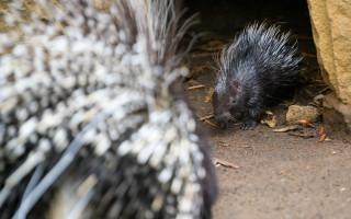 Podpořte mládě dikobraza, které se narodilo v Zoo Praha v době karantény