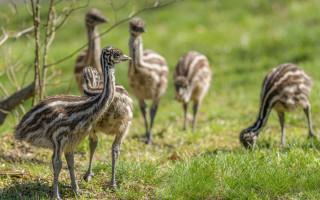 Podpořte mláďata emu hnědého, která se vylíhla v Zoo Praha v době karantény