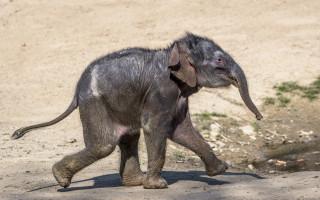 Podpořte slůně, které se narodilo v Zoo Praha v době karantény