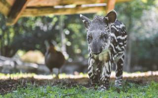 Oddychový přístřešek pro tapíry jihoamerické