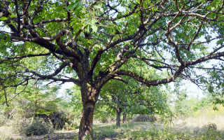 Zachraňujeme starý třešňový sad