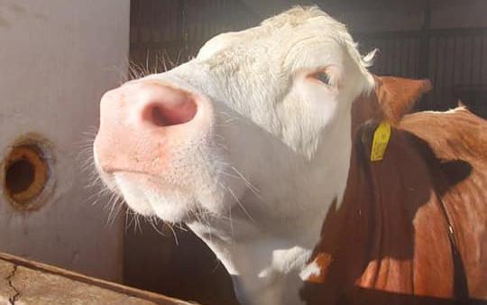 Mobilní výběh pro naše krávy