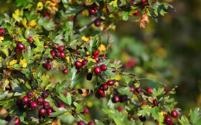 Čaj z třešňového sadu