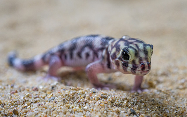 Podpořte mláďata gekona zázračného, která se vylíhla v době karantény