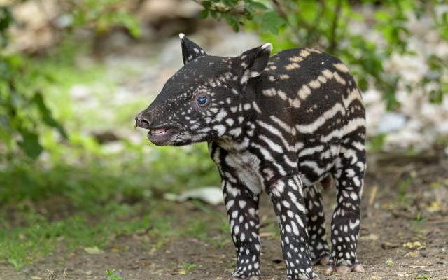 Podpořte tapírka Morse, který se narodil v Zoo Praha