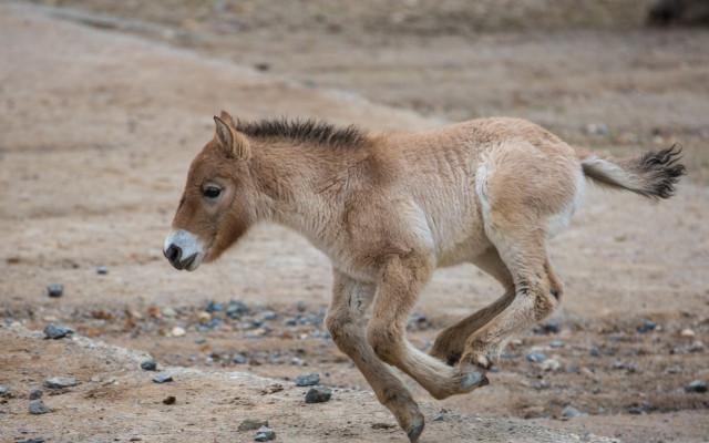 Podpořte hříbě koně Převalského, které se narodilo v době karantény