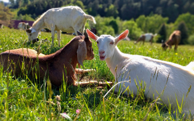 Kozy z Vizovic vás prosí o pomoc ještě jednou