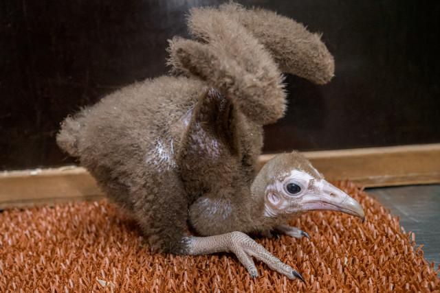 Podpořte supa kapucína, který se narodil v Zoo Praha
