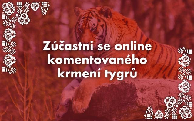 Zúčastni se online komentovaného krmení tygrů